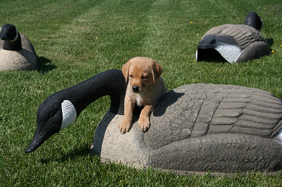 Puppies and Decoys (6th Week)