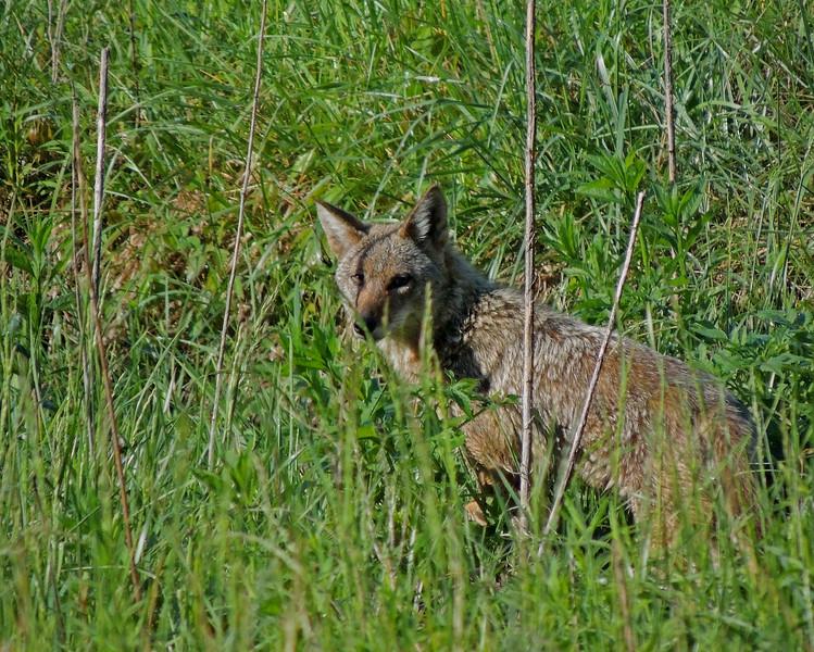 coyote 02.jpg