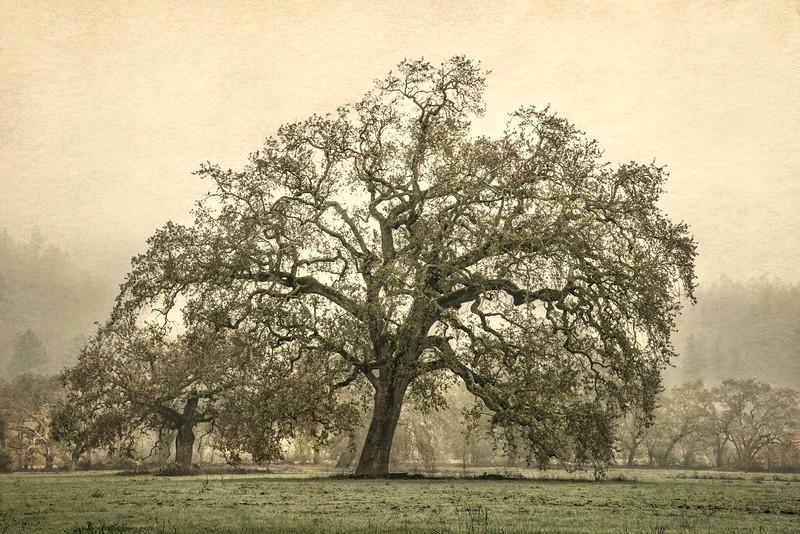 Sonoma Oak, Sonoma Valley, California