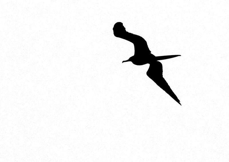 Magnificent Frigatebird Fort Myers Beach FL IMG_4354.jpg