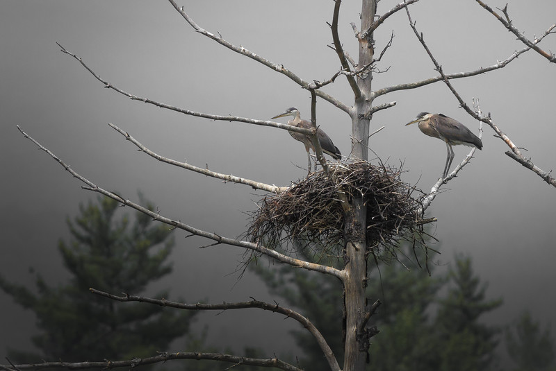 Great Blue Herons and Nest