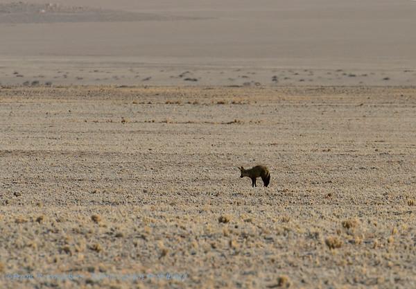 Grootoorvos; Namibië; Bateared fox; Otocyon megalotis; Löffelhund; Renard à oreilles de chauvesouris; Otocyon; Bakoorjakkals; Namib Desert