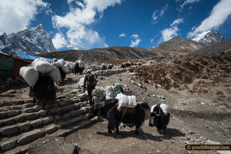 Yaks heading to Everest Base Camp pass through Dughla