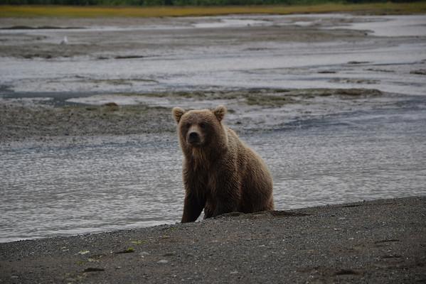 Albirament d'óssos a Alaska