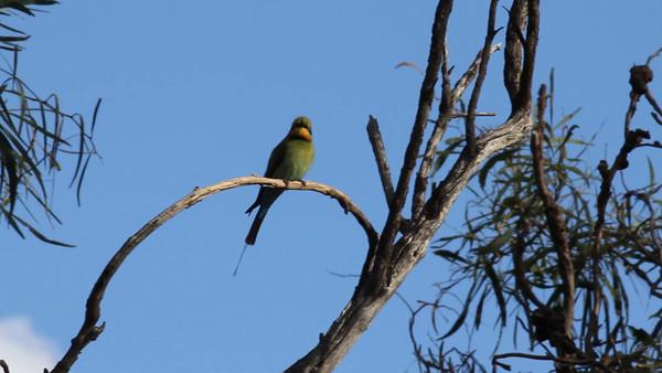 Bee Eaters - Perth Western Australia