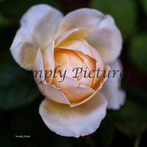 roses  036
