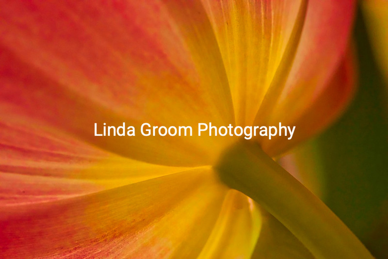 Under the Tulip