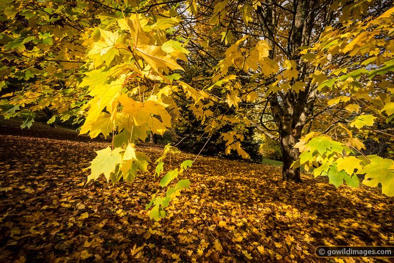 Norway Maple, Pirianda Garden, Dandenongs
