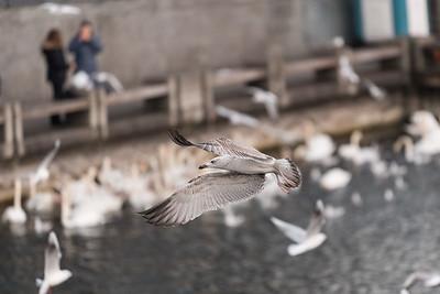 2017-02-12 Birds at Zürichsee