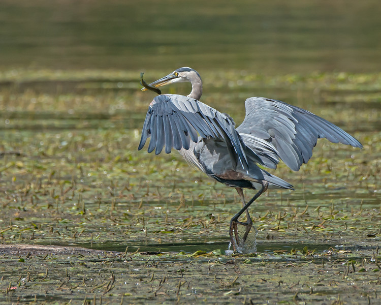 Great Blue Herron with Fish