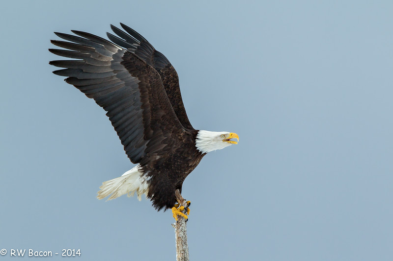 Homer Eagle - Wings-Up Perched.jpg