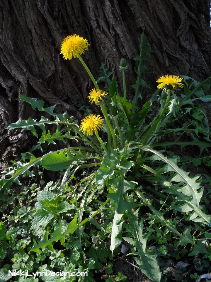 Dandelion Greens - If picking dandelion greens from your yard make sure you are not using broad based weed killer to treat your lawn.