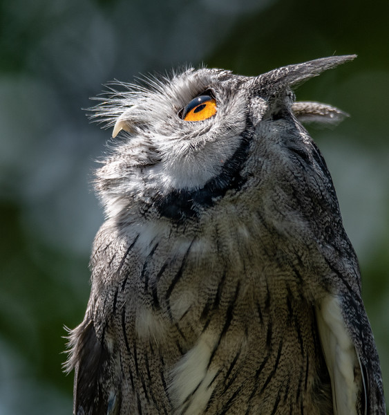 White-Faced Scops Owl profile