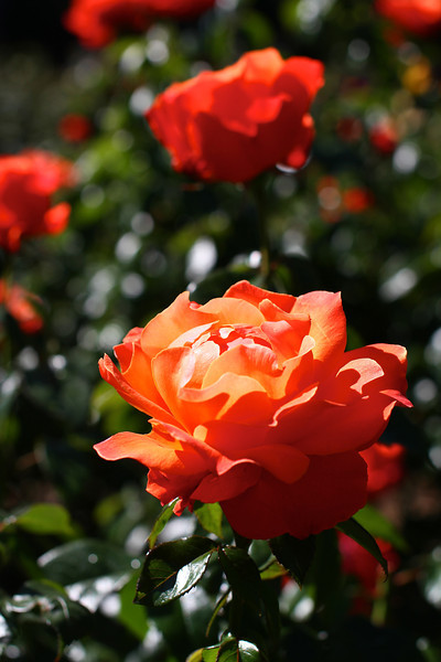 Portland International Rose Test Garden  2217.jpg