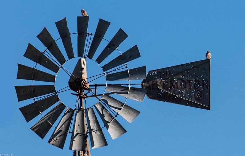 Kestrels and Wind Power.jpg