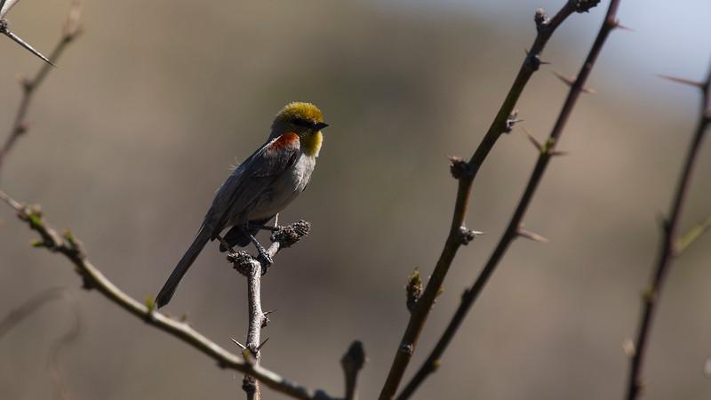 Verdin at Morongo Canyon 1