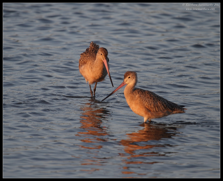 Marbled Godwits in the setting sun, Robb Field, San Diego River, San Diego County, California, October 2011