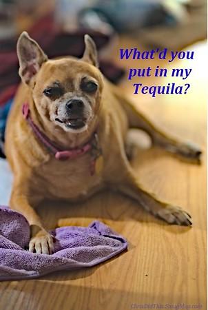 Coco the Chihuahua