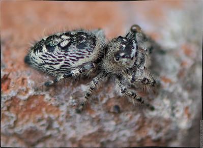 "Itsy Bitsy ""Lefty"" Jumping Spider"