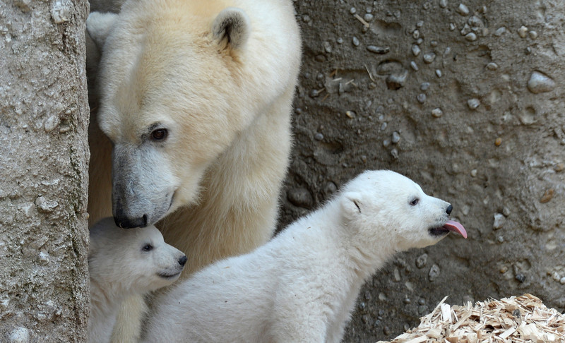 . The 14 week old polar bear twins come with their mother during the first outside excursion in the zoo in Munich Hellabrunn, southern Germany, on March 19, 2014. (CHRISTOF STACHE/AFP/Getty Images)