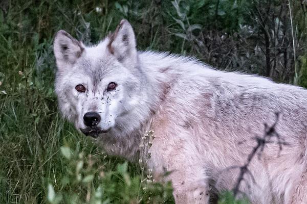 8-4-20 White Wolf Third Visit