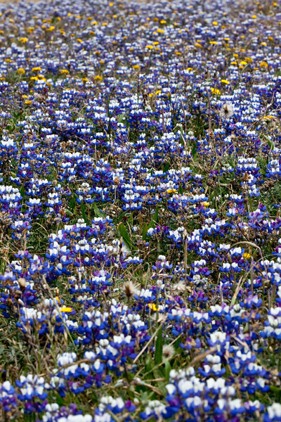 A Sea of Flowers