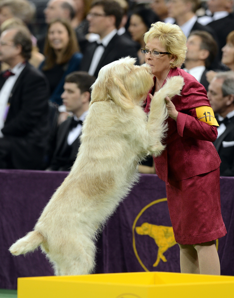 . A Spinoni Italiani greets its handler during the Sporting Group judging during the Westminster Kennel Club Dog Show February 12, 2013 at Madison Square Garden in New York.  STAN HONDA/AFP/Getty Images