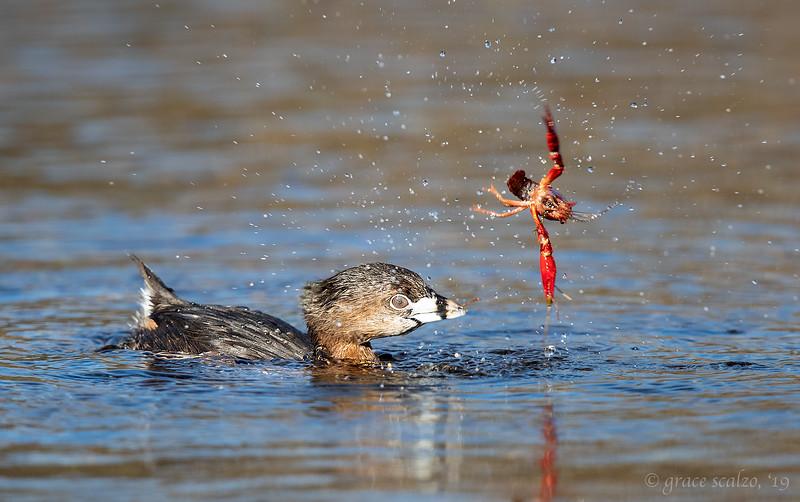 Pied-billed grebe flinging crayfish