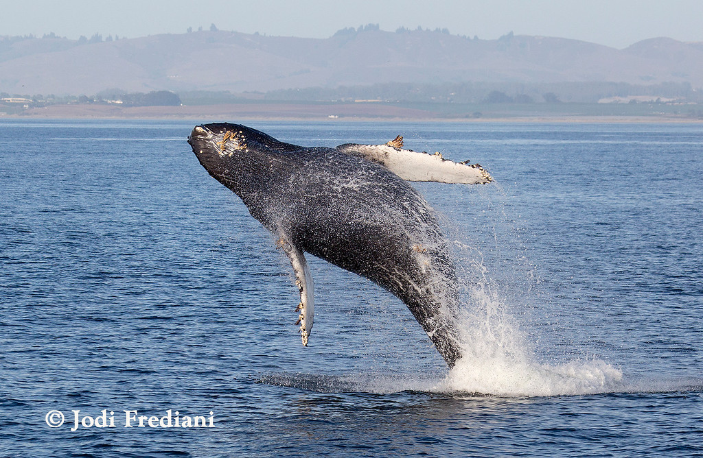 . A humpback whale breaches Monterey Bay earlier this month. Whales have been spotted in abundance lately, providing a weekend show to whale-watchers who lined the bluffs near Santa Cruz. The visitors include a mother, seen here, and calf who have spent many weeks in the northern part of the bay. (Photo courtesy Jodi Frediani/Monterey Bay Whale Watch)