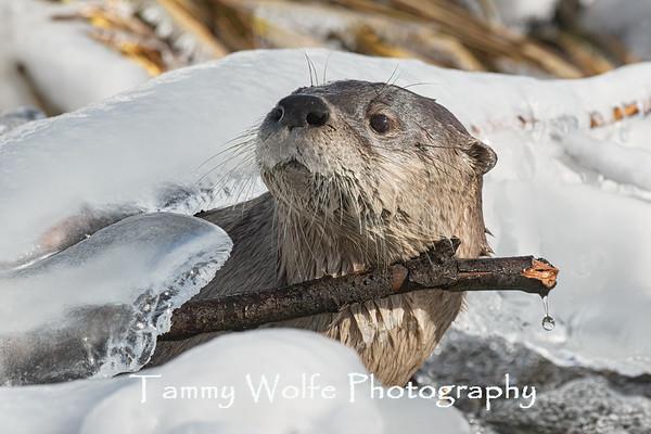 Otter, River