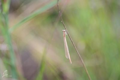 Spreadwing (1)