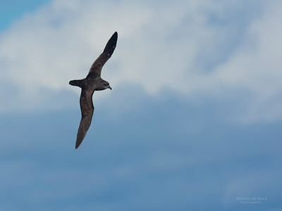 Great-winged Petrel (Pterodroma macroptera)