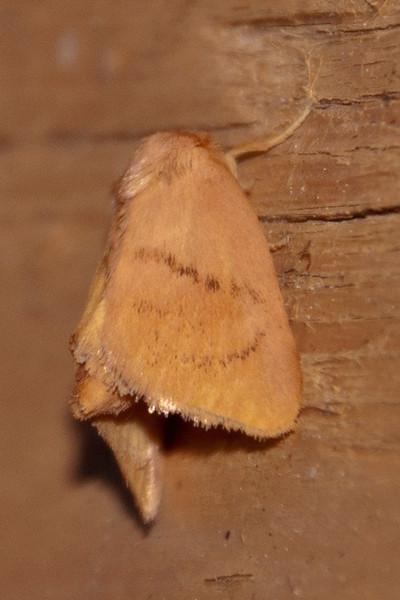 Slug Moth - Dunning Lake - Itasca County, MN