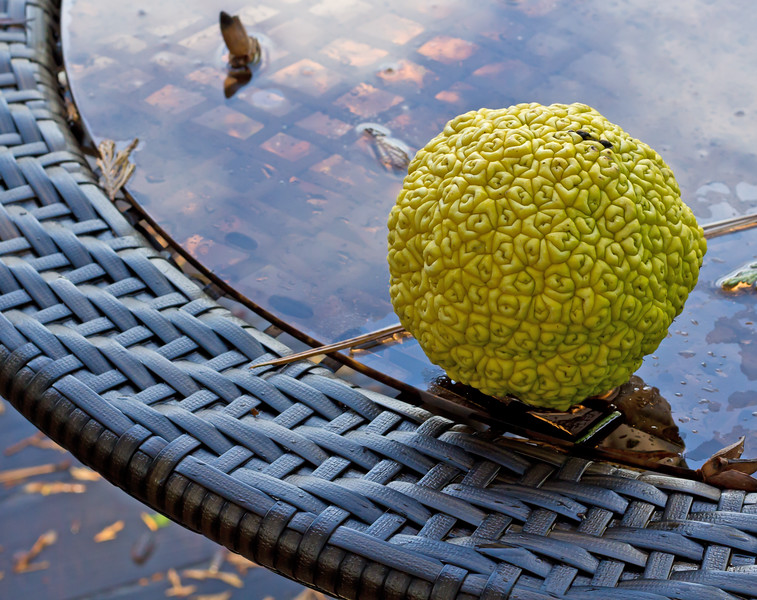 Osage Orange, or Maclura