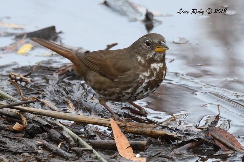 Fox Sparrow - 1/7/2018 - Dos Picos County Park