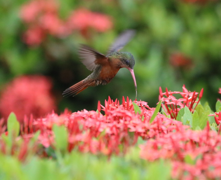 Hummingbird feeding on leaves while hovering in the flowers