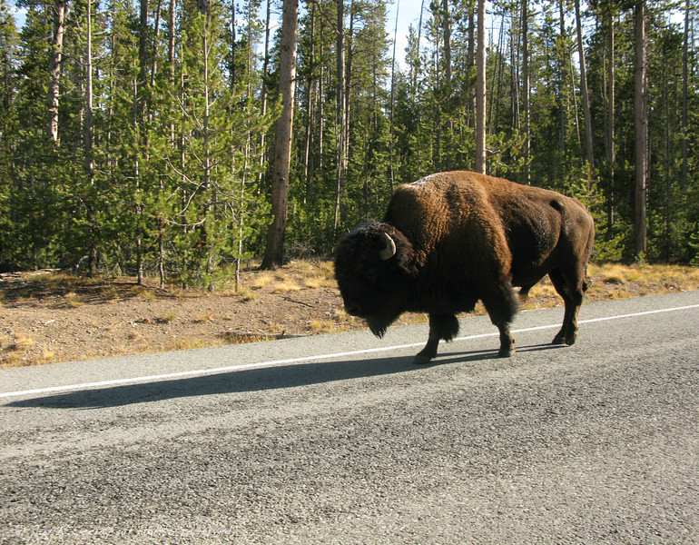 Buffalo (bison) taking a stroll along the highway.