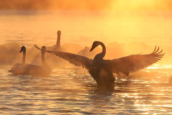 Trumpeter Swan Wing
