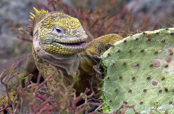 Land Iguanas (Conolophus)