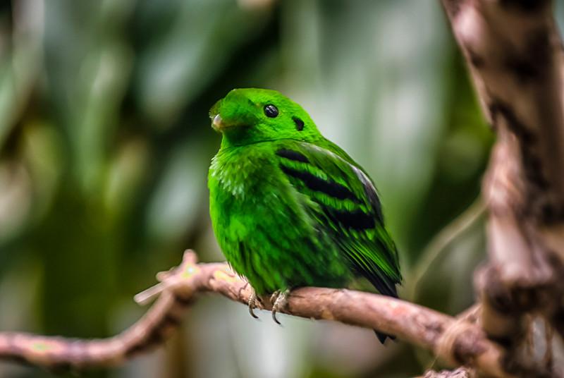 Lesser Green Broadbill.jpg