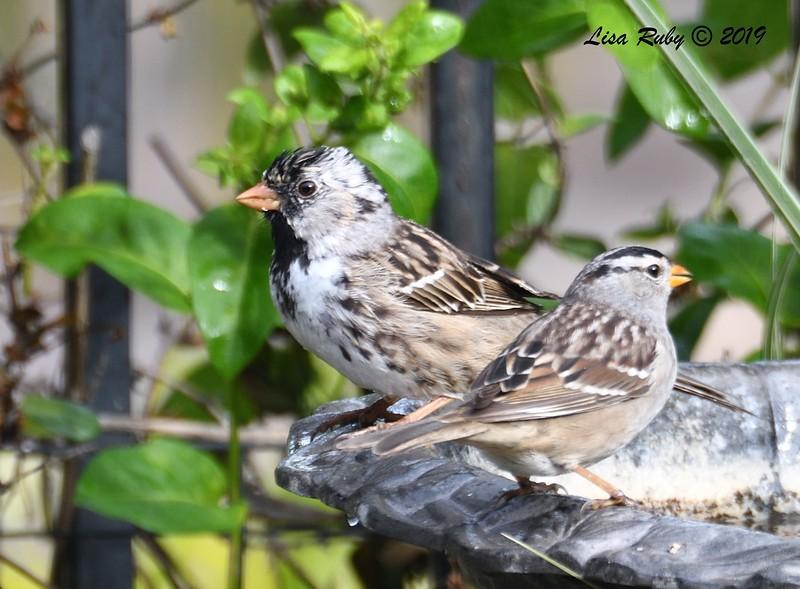 Harris's Sparrow - 4/16/2019 - Backyard Sabre Springs