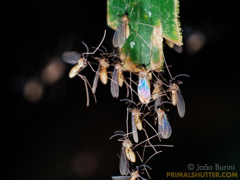 Agglomeration of fungus gnats