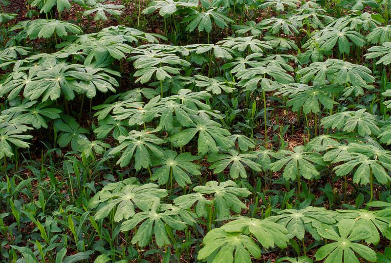 4/26/96 Delaware, WF - Eastern, Podophyllum peltatum (Mayapple) Creeping, rhizomatous perennial. Mass of plant foliage, Winterthur