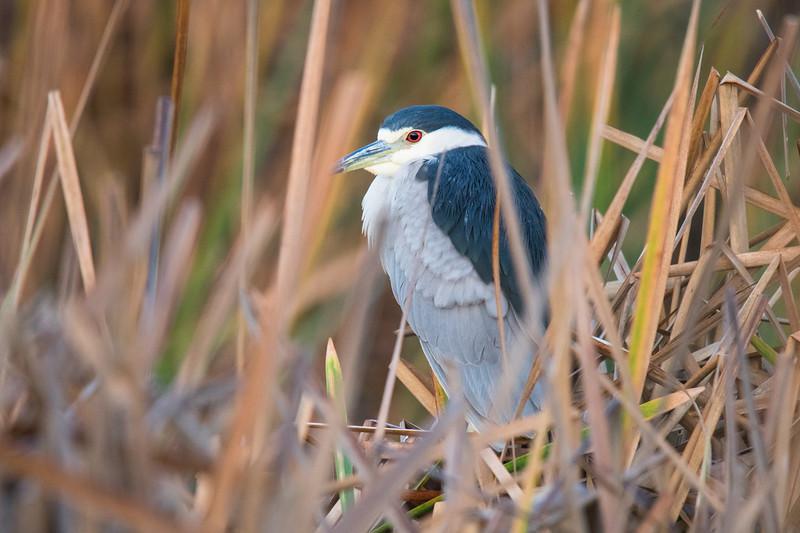 Black-crowned Night Heron Aransas TX 2020-1.jpg