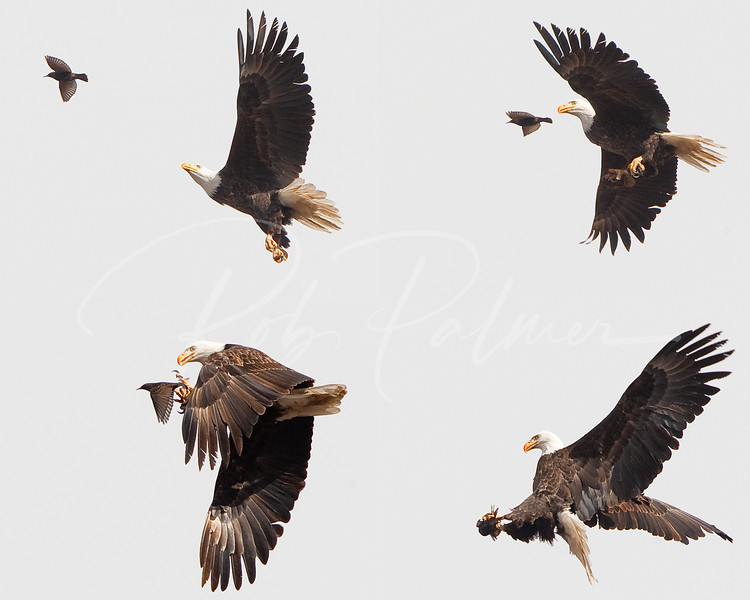 Eagle and Starling Sequence