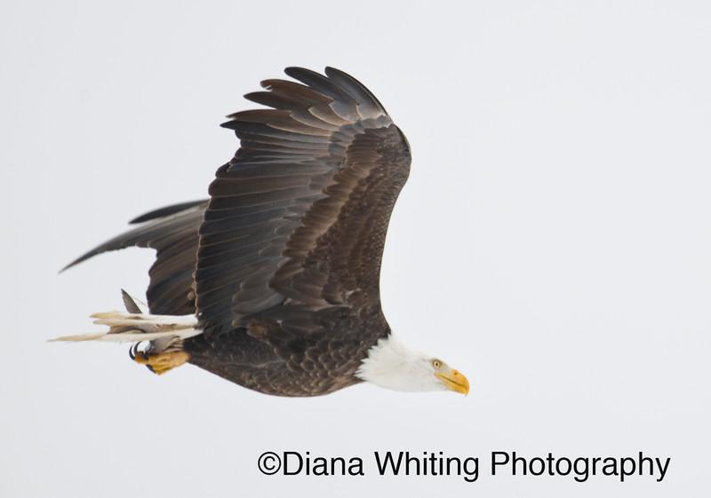 Bald Eagle 35.jpg