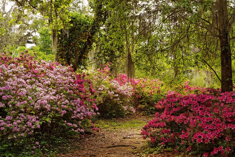 Spring azalea bloom on a path in the Gardens