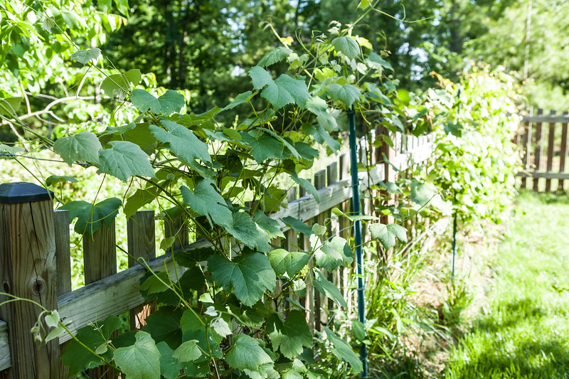 Grape_vines_051212.jpg