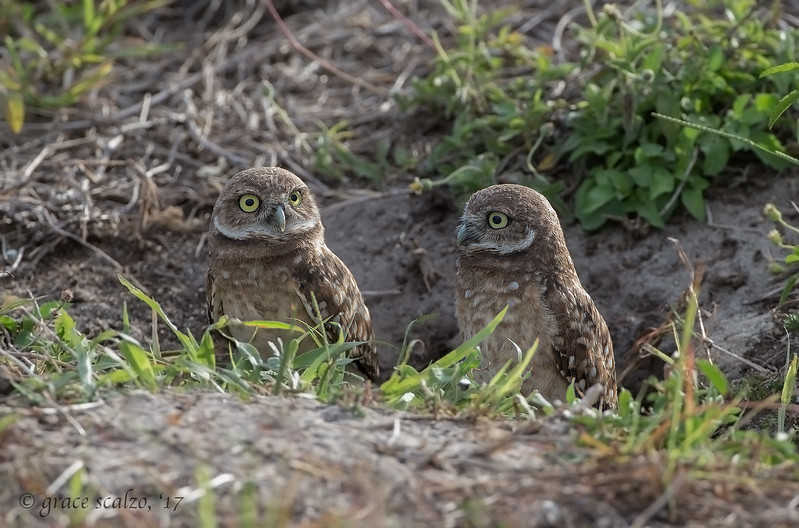 Burrowing Owl juveniles in their burrow