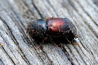 Bostrichidae - Auger Beetles